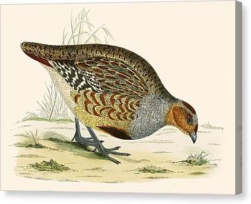 Partridge Canvas Print by Beverley R Morris