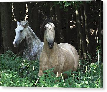 Paso Fino Mares Pay Attention Canvas Print by Patricia Keller