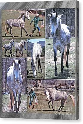 Paso Fino Stallion Horsing Around Canvas Print by Patricia Keller