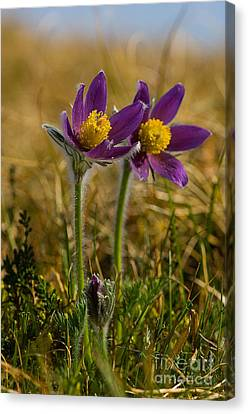 Pasque Flowers Canvas Print by Steen Drozd Lund