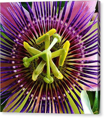 Passiflora Canvas Print by Bruce Bley