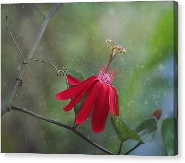 Passiflora Flower Canvas Print by Kim Hojnacki