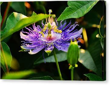 Passiflora Incarnata Canvas Print by Adam LeCroy