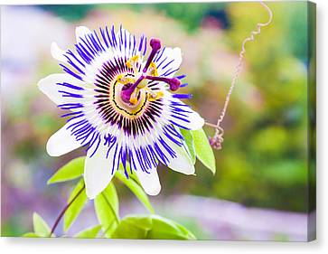 Passiflora Or Passion Flower Canvas Print by Semmick Photo
