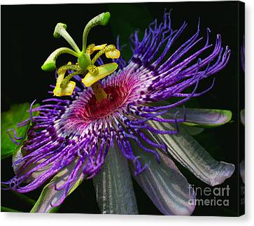 Passion Flower Canvas Print by Douglas Stucky