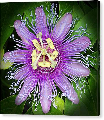 Passion Flower Canvas Print by Judy Vincent