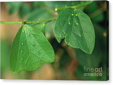 Passionflower Leaves Canvas Print by Gregory G. Dimijian, M.D.