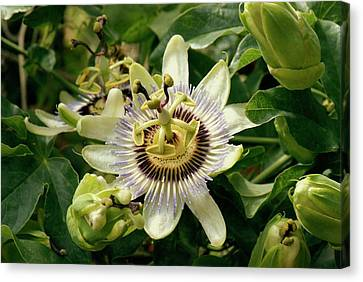 Passionflower (passiflora Caerulea) Canvas Print by Adrian Thomas