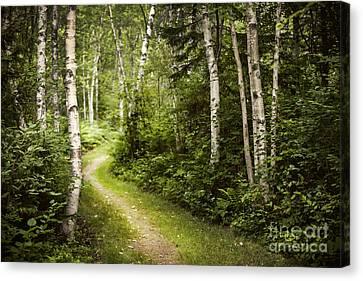 Path In Birch Forest Canvas Print by Elena Elisseeva