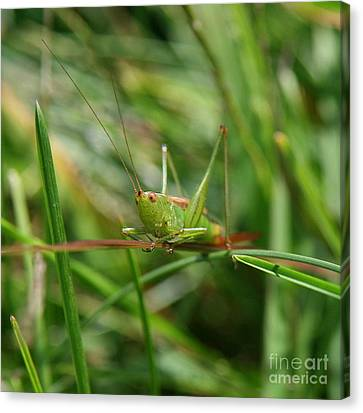 Patience Grasshopper Canvas Print by Neal  Eslinger