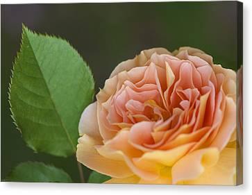 Peace Rose Canvas Print by Jane Eleanor Nicholas