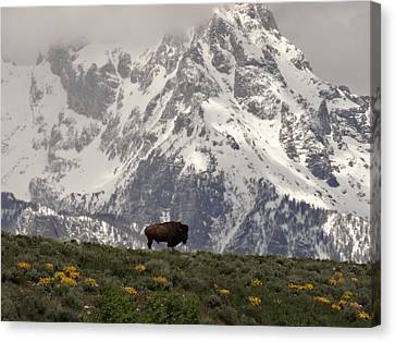 Bison On The Range In Wyoming Canvas Print by Dan Sproul