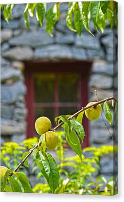 Peach Tree At The Old Mill Of Guilford Canvas Print by Sandi OReilly