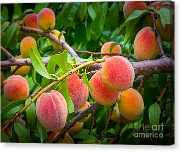 Peaches Canvas Print by Inge Johnsson