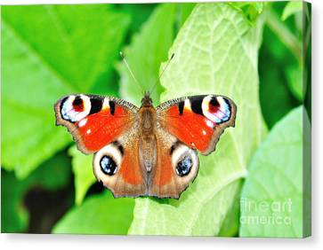 Peacock Buterfly Canvas Print by Martin Capek