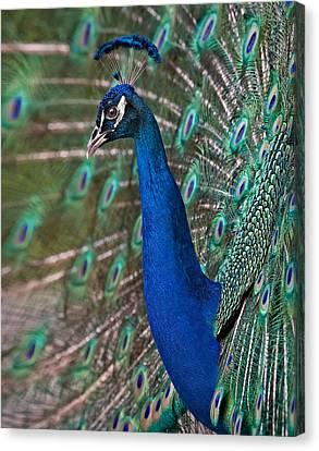 Peacock Display Canvas Print by Susan Candelario