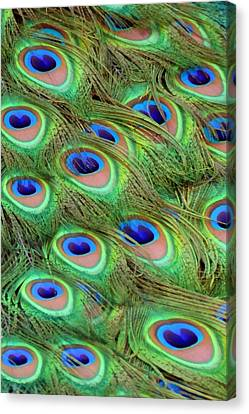 Peacock Feather Cascade Canvas Print by Angelina Vick