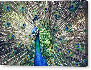Peacock Indian Blue Canvas Print by Sharon Mau