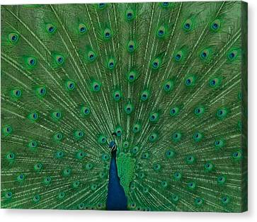 Peacock Canvas Print by Art Spectrum