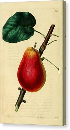 Pear 1829 Canvas Print by Philip Ralley