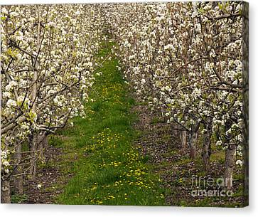 Pear Blossom Lane Canvas Print by Mike  Dawson