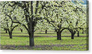 Pear Orchard In Bloom, Mt Hood, Oregon Canvas Print by Panoramic Images