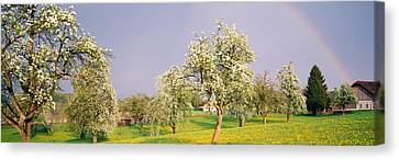 Pear Trees In A Field Pyrus Communis Canvas Print by Panoramic Images