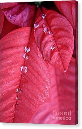 Pearls On Poinsettia Canvas Print by Carol Groenen
