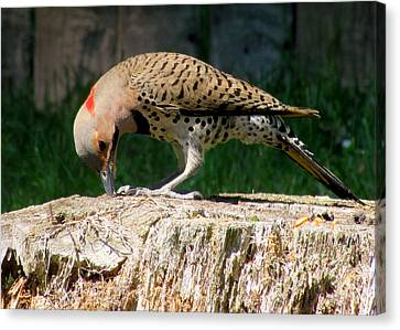 Pecking Flicker Canvas Print by Lori Pessin Lafargue