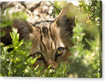 Peek-a-boo Kitty Canvas Print by Kathy Clark