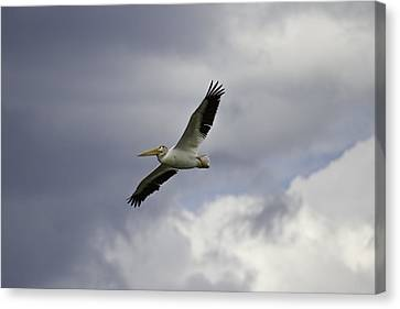 Pelican In Flight Canvas Print by Thomas Young