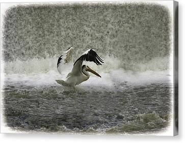 Pelican Landing In Color Canvas Print by Thomas Young
