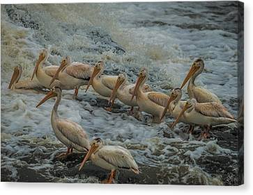 Pelican Lineup Canvas Print by Paul Freidlund