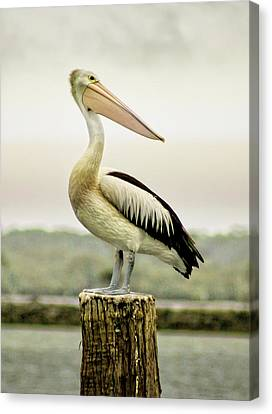 Pelican Poise Canvas Print by Holly Kempe