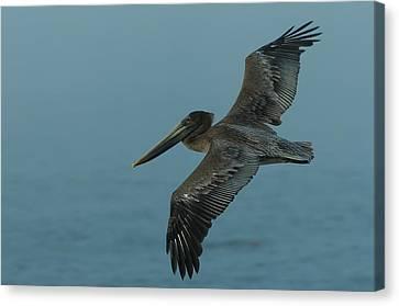 Pelican Canvas Print by Sebastian Musial