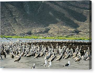 Pelicans And Cormorants On A Beach Canvas Print by Christopher Swann