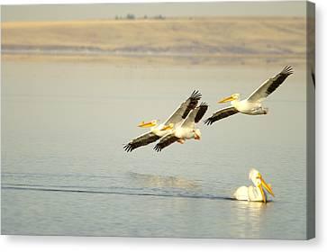 Pelicans In Flight Canvas Print by Jeff Swan