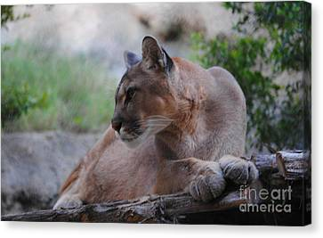 Pensive Puma Canvas Print by DiDi Higginbotham