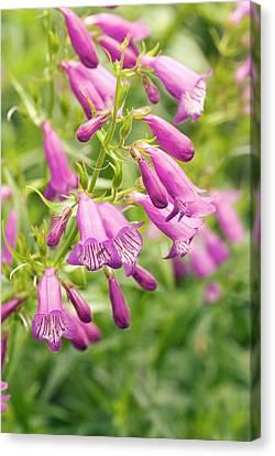 Penstemon 'knightwick' Flowers Canvas Print by Adrian Thomas