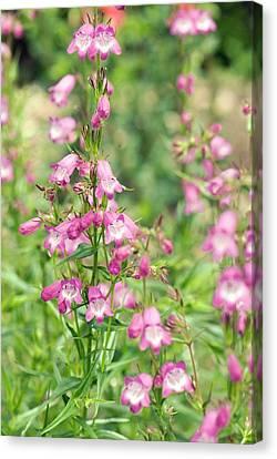 Penstemon 'pink Endurance' Flowers Canvas Print by Adrian Thomas