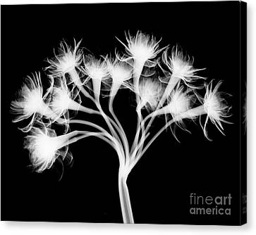 Pentaster Blossom X-ray Canvas Print by Bert Myers