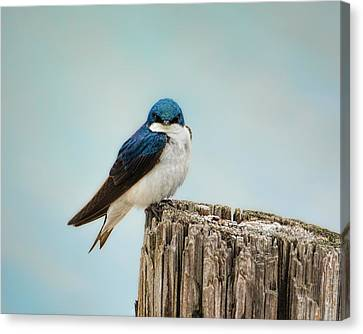 Perched And Waiting Canvas Print by Jai Johnson