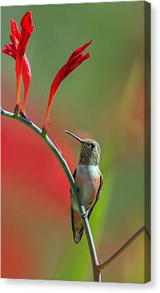 Perched On Crocosmia Canvas Print by Angie Vogel