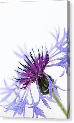 Perennial Cornflower Canvas Print by Anne Gilbert