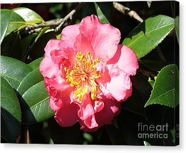 Perfect Pink Camellia Canvas Print by Carol Groenen