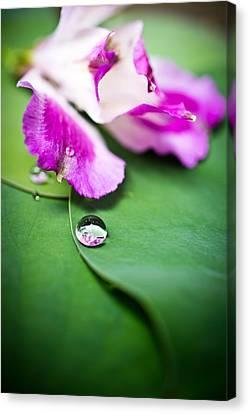 Peruvian Lily Raindrop Canvas Print by Priya Ghose
