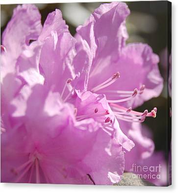 Petal Pink By Jrr Canvas Print by First Star Art