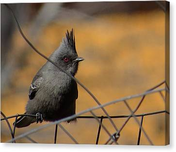 Phainopepla Canvas Print by Feva  Fotos