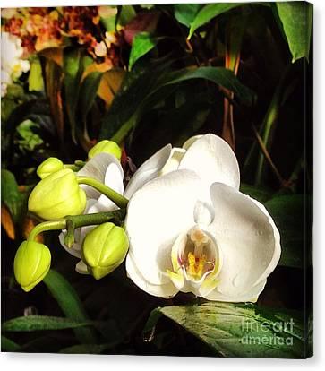 Phalaenopsis  Canvas Print by Angela Rath