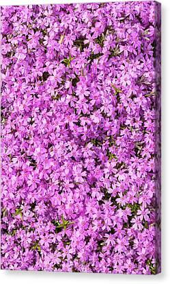 Phlox Subulata 'marjorie' Canvas Print by Geoff Kidd